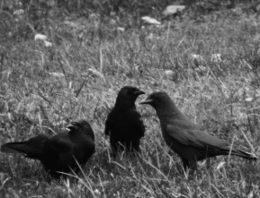 b&w crow family murder photo grass
